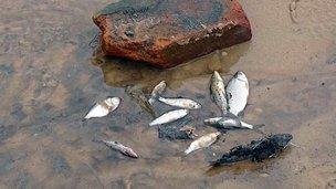 CARU analizó la mortandad de peces en el Balneario Ñandubaysal