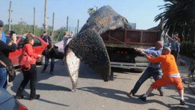La ballena que vino a morir en las costas de Montevideo