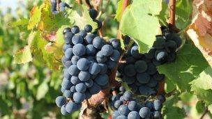 San José contaría con una unidad experimental de frutas finas y vid