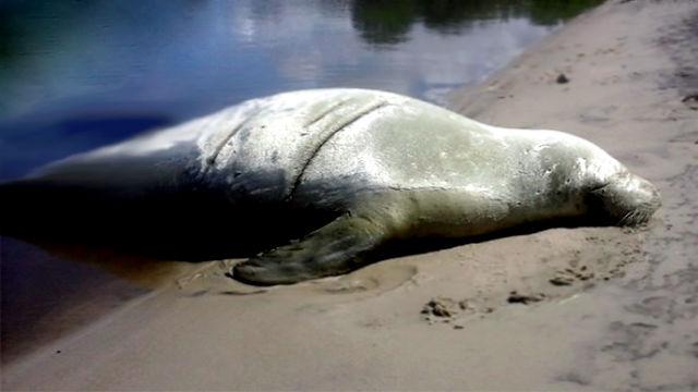 Elefante marino visitó nuevamente las costas de Gualeguaychú
