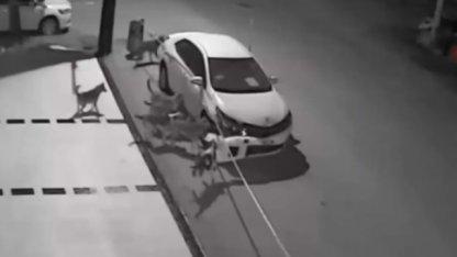 Insólito: una jauría de perros destrozó un auto