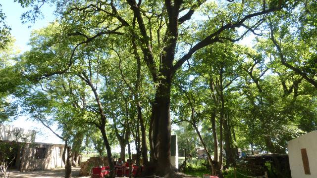 El Árbol de san Expedito, en Rafaela.