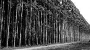 410 hectáreas de eucaliptos en un área protegida