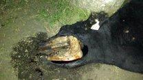 Detectan extrañas mutilaciones en un animal de Distrito Yuquerí