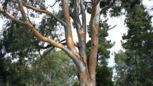 ¿Qué impacto tiene la mancha amarilla en el eucalipto?