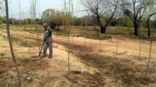 La Dirección de Areas Verdes respondió a la denuncia por la tala de árboles