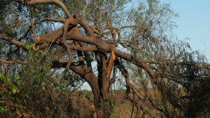 Banco Pelay: Enersa plantará ejemplares de los  árboles dañados