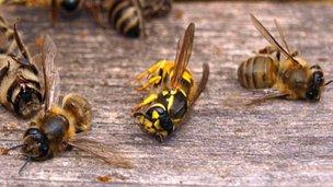 Un poderoso insecticida provocó la muerte de miles de abejas
