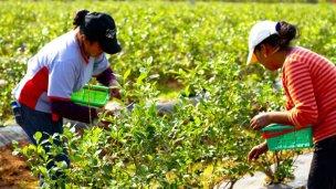 Convocan a trabajadores para el sector citrícola y arandanero