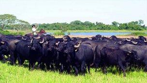 El búfalo, de Asia al delta entrerriano