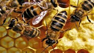 Peligrosa extinción de abejas, frente a Entre Ríos