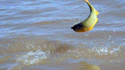 Agua y peces del río Uruguay tienen trazas de agroquímicos