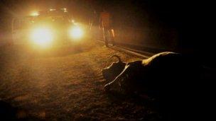 Joven motociclista murió al atravesarse una vaca en su camino