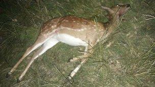 Un inocente guazuncho, en las garras de los cazadores