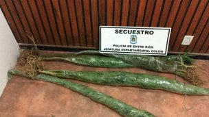 Para su sorpresa, hallaron plantas de marihuana de dos metros
