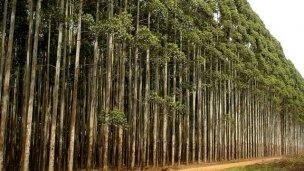 Plantarán eucaliptos en tierras del Ejército y de Ferrocarriles